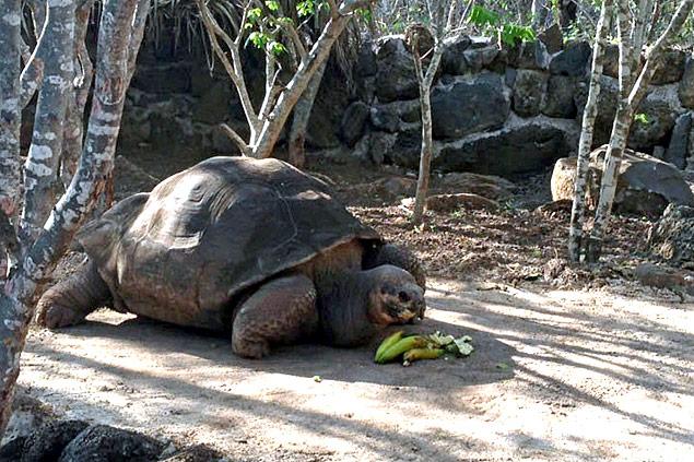 A tartaruga-gigante George Solitário morreu em 2012; cientistas dizem que apenas 17 tartarugas da espécie Chelonoidis abingdonii ainda vivam em Galápagos
